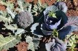 """Cultivo orgánico de brócolis en huerto """"Los Vásquez"""", Miramundo."""